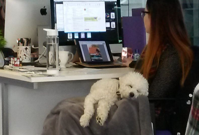 Joey, the office dog, is asleep across Senior Creative Designer Savannah's lap while she works.